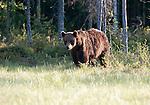 European Brown Bear, Ursus arctos arctos, Kuhmo, Finland, Lentiira, Vartius near Russian Border, foraging in forest, early morning