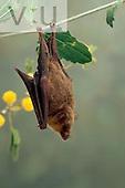 A Common Long-Tongued Bat. (Glossophaga soricina) Alamos, Sonora, Mexico