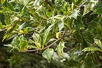 Osmanthus heterophyllus 'Goshiki'