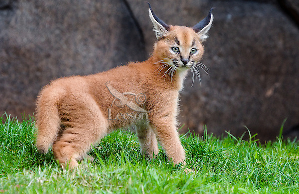 Caracal Kitten ... Predator Animals
