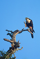 527550018 a wild aplomado falcon falco femoralis which is federally endangered in the united states stares out from its perch in a tall dead tree on a ranch in northeastern mexico