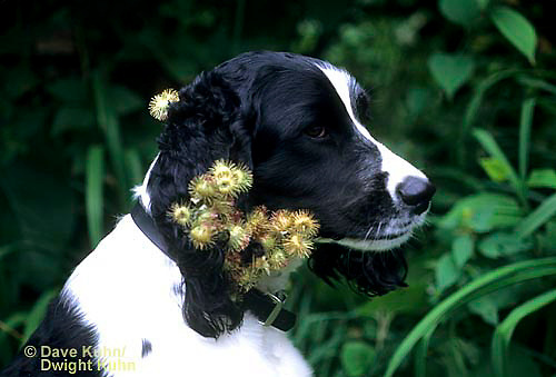 SH24-018z  Burdock - seeds on English Springer dog, seed dispersal - Arctium minus  ©David Kuhn/Dwight Kuhn