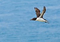 Razorbill in flight in Maine
