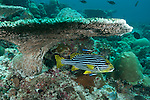 Rakeedhoo Island, Felidhoo Atoll, Maldives; an Oriental Sweetlips (Plectorhinchus vittatus) fish hovering under a large plate coral while being cleaned by two Bluestreak Cleaner Wrasse