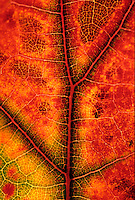 Close-up of Quercus coccinea (Scarlet Oak) leaf in fall color showing veining