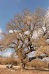 T-025 Mount Tabor Oak in Beth Keshet