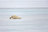 Young polar bear cub rolls on the frozen ice of the Beaufort Sea, arctic, Alaska.