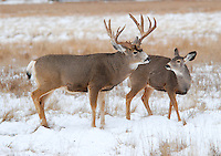 Mule Deer buck and doe