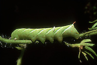 Garden insect pest Tomato Hornworm parasitized by natural predator Braconid wasp Manduca quinquemaculata in natural biological pest control