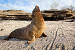 A baby sea lion displaying in the afternoon sun on Santiago Island in the Galapagos National Park, Galapagos, Ecuador, South America