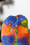 Pair-bonding of Rainbow Lorikeets, Brisbane Australia.   //  Rainbow Lorikeet - Psittacidae: Trichoglossus haematodus. Length to 30cm; wingspan to 45cm; weight to 150g; Found in northern and eastern Australia from the Kimberley Region in northern Western Australia (Red-collared Lorikeet, T. h. rubritorquis) to eastern South Australia. Occurs in forests, woodlands, heath, and rural and urban areas. Aviary-escapees are established in many towns and cities. Widespread with many subpsecies - often with a different name - from eastern Indonesia (Maluku=Molucca Islands) through New Guinea east to Vanuatu and New Caledonia in the south-west Pacific, north through Manus and the Admiralty Islands to the Philippine Islands (this may be a separate species - the taxonomy of the group is yet to be finalised). Close up reveals the beauty of an unusual combination of colours - blue, green, yellow, orange. The iris, a narrow brown ring surrounding the pupil and bright orange-red around this, is used in mating and threat displays. The brown feather colour is the result of water filling micro-structures on the barbs and changing the qualities of reflected light.  //Eric Lindgren//