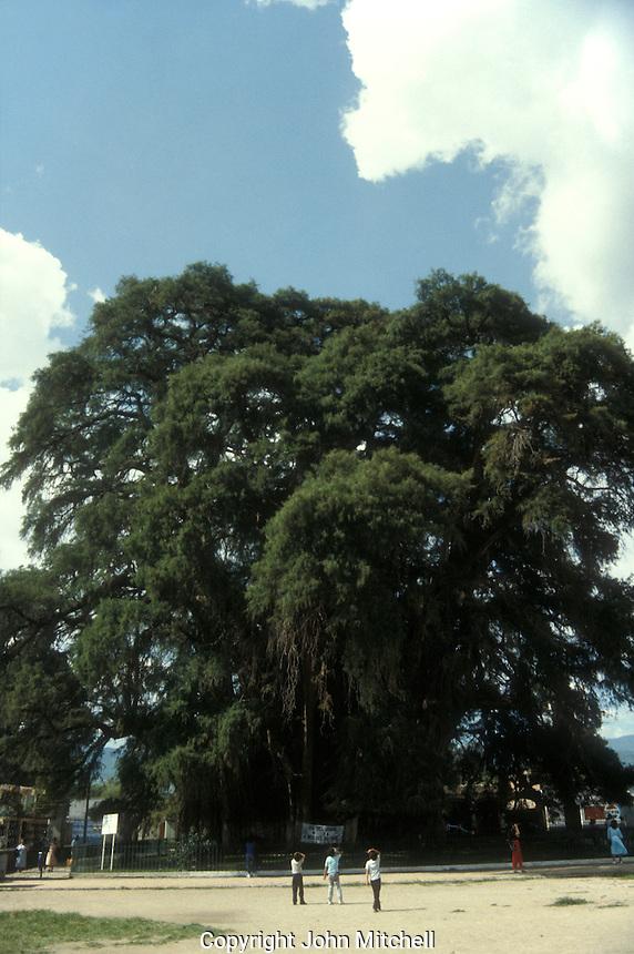 Giant ahuehuete cypress tree at El Tule, near the city of Oaxaca, Mexico