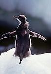 Adelie penguin chick, Antarctica