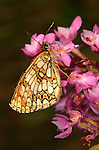 Heath Fritillary Butterfly, Mellicta athalia, resting on pink flower, orange colours, Provence.France....