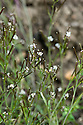 Hairy bittercress (Cardamine hirsuta) in flower, late May.