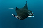 Giant manta ray feeding in the shallows(Manta birostris). North Raja Ampat, West Papua, Indonesia