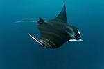 Giant manta ray feeding in the shallows(Manta birostris). North Raja Ampat, West Papua, Indonesia