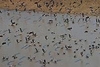 Magpie geese on David Walkers Cattle Station near Kakadu.