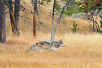 Wild Gray Wolf (Canis lupus) walking through fall color grass.  Yellowstone National Park.