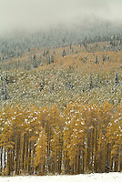 light snowfall on autumn trees on Bonanza Flats, Utah, USA