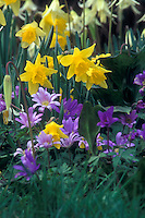 Bulbs Daffodils (Narcissus asturiensis hybrid ) & Anemone blanda Windflowers in spring bloom together in lavender and yellow garden design
