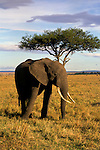 Africa, Kenya, Maasai Mara. An elephant in the Maasai Mara.