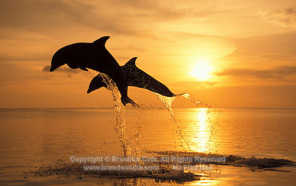 my719. Bottlenose Dolphins (Tursiops truncatus) leaping at sunset. Caribbean Sea..Photo Copyright © Brandon Cole. All rights reserved worldwide.  www.brandoncole.com