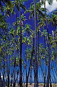 A historical landmark on Molokai, the palm grove called Kapuaiwa grove, which is near Kaunakakai