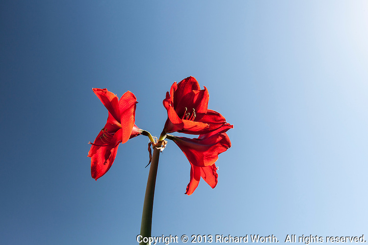 Three red amaryllis flowers in full bloom on a single stem against a clear blue sky.