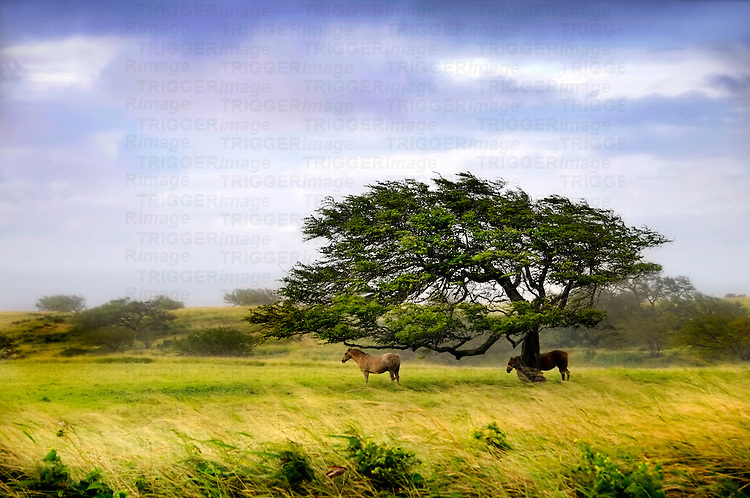 Two horses standing under a windswept tree in the countryside