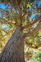 Quercus alba, White Oak tree, Arnold Arboretum