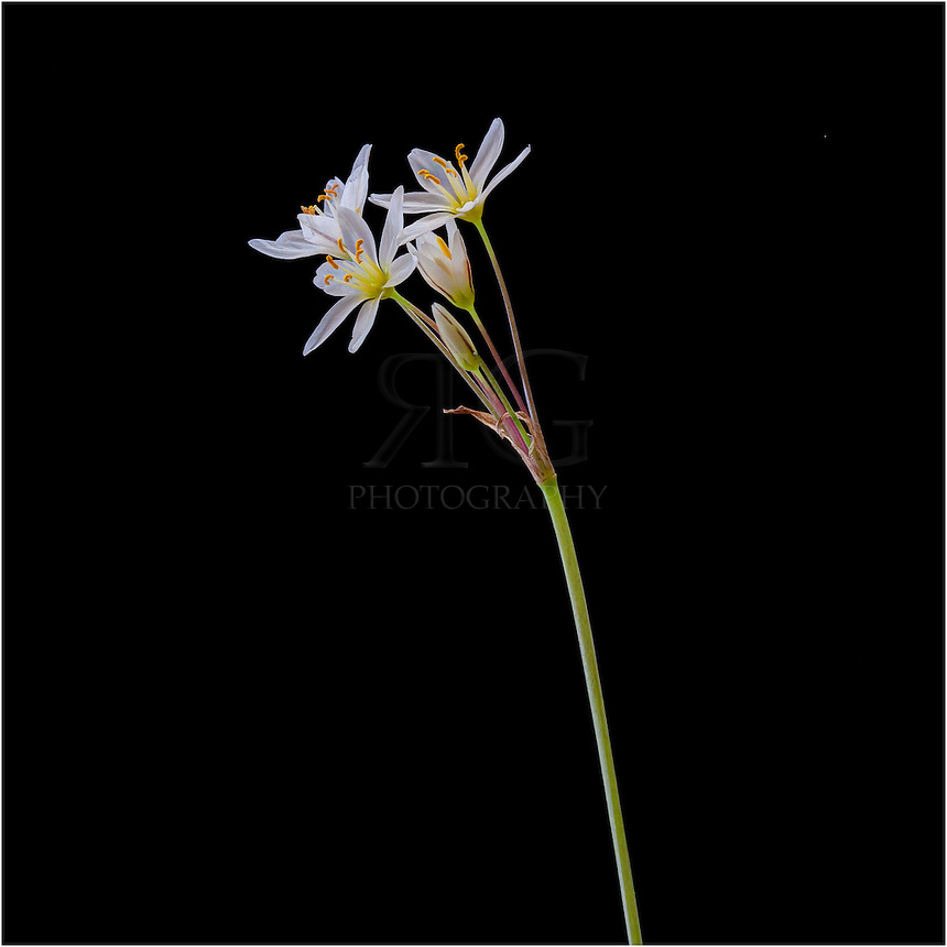 With tiny white, delicate petals, Crow Poison is a Texas Wildflower that blooms when the weather becomes warmer.