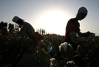 Worker harvest cotton in a cotton field near Korla, Xinjiang province, China, on October 10, 2006. Photo by Lucas Schifres/Pictobank