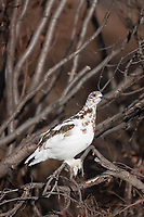 Willow ptarmigan in mixed white and brown transition plumage perches on a willow branch, arctic, Alaska.