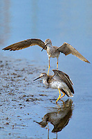 598250008v a pair of male lesser yellowlegs tringa flavipes engage in dominance display and fighting in a small pond on south padre island cameron county texas united states