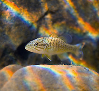 Smallmouth Bass (juvenile)<br />