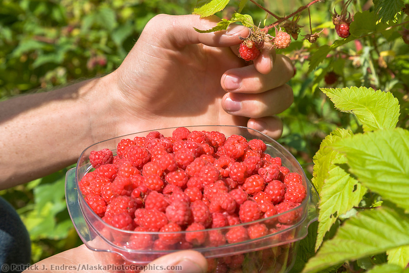 Picking wild raspberries in Fairbanks, Alaska.