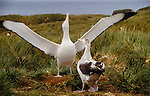 Wandering albatross, courtship display, King Haakon Bay, South Georgia Island