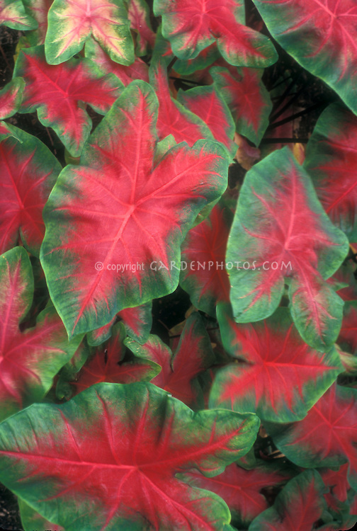 Caladium Plant Flower Stock Photography