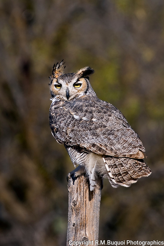 Great Horned Owl on Fence Post