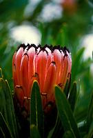 Pink mink protea flower