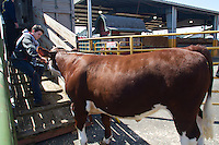 Steers are loaded onto a trailer to be hauled to a slaughterhouse after being shown. <br /> Students in the FFA and 4H programs participate in the auction of livestock including steers, lambs and hogs in the Northwest Junior Livestock Show at the Washington State Spring Fair in Puyallup, Wash. on April 19, 2015.  (photo &copy; Karen Ducey Photography)