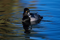 Ring-necked Duck, Aythya collaris, male; Agua Caliente Park, Arizona