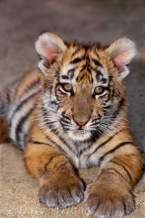 683999125 a bengal tiger cub panthera tigris rests on the ground - species is native to indian subcontinent and is highly endangered in the wild due to habitat loss and poaching - this animal is a wildlife rescue