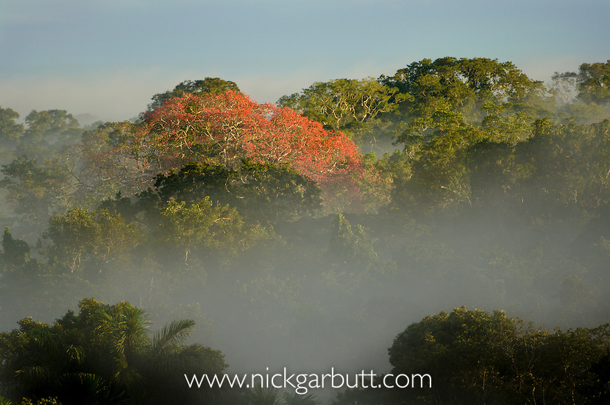 Rainforest tree in bloom. Lowland Amazon rainforest near Napo River, Ecuador.