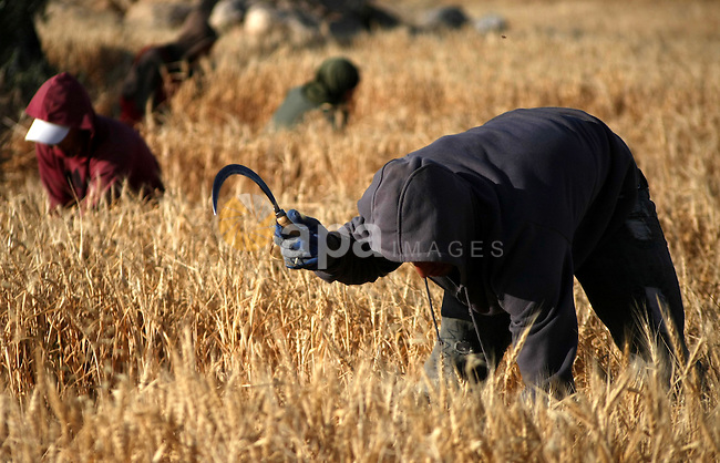 Palestinian farmers harvest wheat grains near settlement of susia in the West Bank City of Hebron on May 13, 2013. Jewish settlers living in Area C settlements launch frequent attacks against Palestinian farmers in the West Bank. Photo by Mamoun Wazwaz