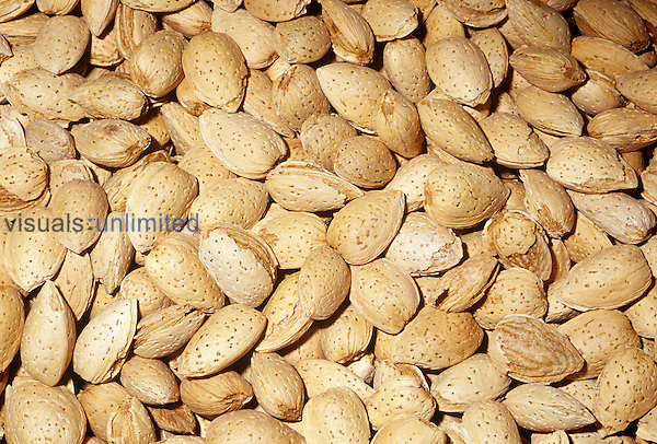Almonds in their shells (Prunus amygdalus). Native to Central Asia.