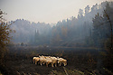 A small flock of frightened sheep that somehow escaped a wild fire that razed their pasture, huddle together in the middle of their burned field near Ancient Olympia;