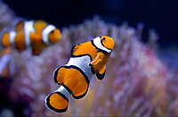420000001 an orange clownfish amphiprion percula floats above an anemone in its aquarium at the long beach aquarium in california - species is native to the indo-pacific ocean