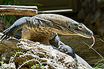 Drago di Komodo al Bioparco di Roma